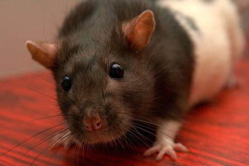 Нью-Йорк объявил войну крысам. Власти истратят $32 млн наборьбу сгрызунами