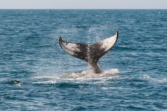 ВКанаде освобождённый изсети кит убил своего спасителя
