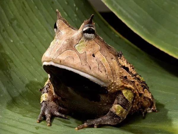 Картинки по запросу лягушка дьявола
