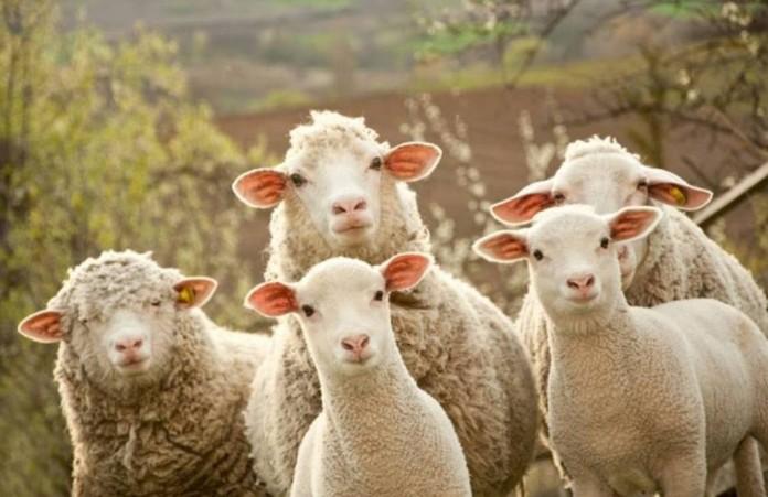 Овцы посетили офис «Новой газеты»